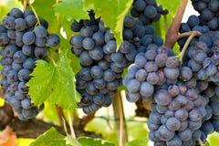 Chianti Grape Clusters Stock Image