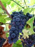 Chianti grape vine. Macro of a chianti grapevine in tuscany italy Stock Photos