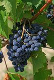 Chianti grapevine. Closeup of a Tuscan Chianti grapevine, Tuscany, Italy royalty free stock photo