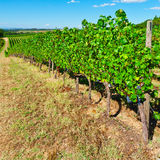 Chianti. Hill of Tuscany with Vineyard in the Chianti Region stock photo