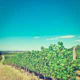 Chianti. Hill of Tuscany with Vineyard in the Chianti Region, Instagram Effect stock image