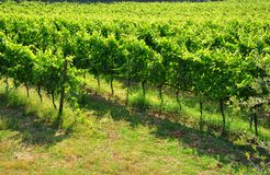 Chianti organic vineyards in Italy  Royalty Free Stock Image