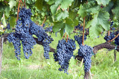 Chianti red grapes Royalty Free Stock Images