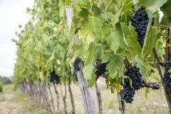 Chianti Red Wine before harvest. Wineyard in Italy Toscany - Chianti Red Wine before harvest Royalty Free Stock Photo