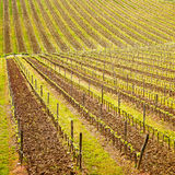 Chianti region, vineyard pattern or background. Tuscany, Italy Stock Photo