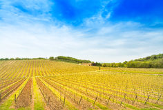 Chianti region, vineyard, trees and farm on sunset. Tuscany, Italy Royalty Free Stock Image