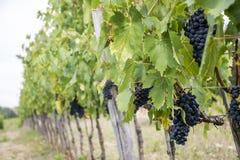 Chianti-Rotwein vor Ernte lizenzfreies stockfoto