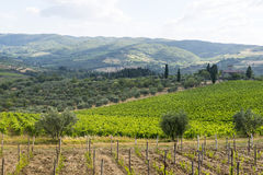 Chianti, Tuscany. Landscape in Chianti (Florence, Tuscany, Italy) with vineyards and olive trees at summer stock photography