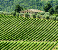 Chianti, Tuscany. Landscape in Chianti (Florence, Tuscany, Italy) with vineyards and olive trees at summer royalty free stock photo