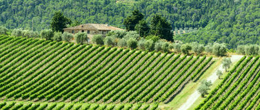 Chianti, Tuscany. Landscape in Chianti (Florence, Tuscany, Italy) with vineyards and olive trees at summer royalty free stock photos