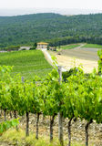 Chianti, Tuscany. Landscape in Chianti (Florence, Tuscany, Italy) with vineyards and olive trees at summer royalty free stock photography