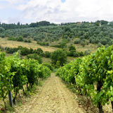 Chianti, Tuscany. Landscape in Chianti (Florence, Tuscany, Italy) with vineyards and olive trees at summer stock photos