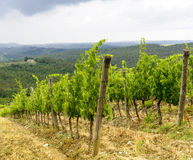 Chianti, Tuscany. Landscape in Chianti (Florence, Tuscany, Italy) with vineyards and olive trees at summer royalty free stock images