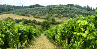 Chianti, Tuscany. Landscape in Chianti (Florence, Tuscany, Italy) with vineyards and olive trees at summer royalty free stock image