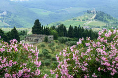 Chianti, Tuscany. Landscape in Chianti (Florence, Tuscany, Italy) with vineyards pink flowers and olive trees at summer royalty free stock image