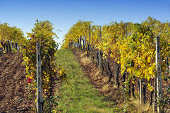 Chianti vineyard royalty free stock photography
