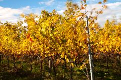 Chianti vineyard in autumn. A vineyard in Chianti, Tuscany, in the autumn sunlight stock images