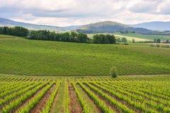 Chianti vineyard landscape in Tuscany royalty free stock photo