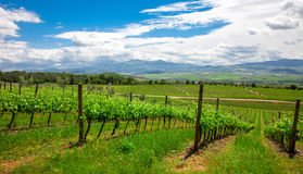 Chianti vineyard landscape in Tuscany Stock Images