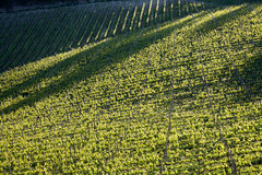 Chianti vineyard with oblique light Royalty Free Stock Photo