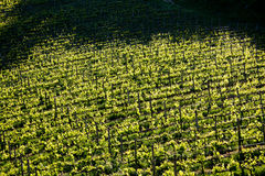 Chianti vineyard with oblique light. Chianti vineyard in a gentle slope with oblique light and shadows of the near trees Royalty Free Stock Image