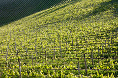 Chianti vineyard with oblique light. Chianti vineyard in a gentle slope with oblique light and shadows of the near trees Stock Photo