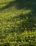Chianti vineyard with oblique light. Chianti vineyard in a gentle slope with oblique light and shadows of the near trees Royalty Free Stock Photography
