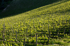 Chianti vineyard with oblique light. Chianti vineyard in a gentle slope with oblique light and shadows of the near trees Royalty Free Stock Photos