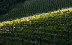 Chianti vineyard with oblique light Royalty Free Stock Images