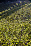 Chianti vineyard with oblique light. Chianti vineyard in a gentle slope with oblique light and shadows of the near trees Stock Image