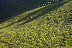Chianti vineyard with oblique light Stock Photography