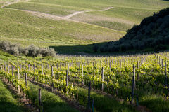 Chianti vineyard slopes. Chianti vineyard in a gentle slope with road and wood in the background Stock Photography