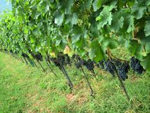 Chianti vineyard Tuscany Italy Royalty Free Stock Photos