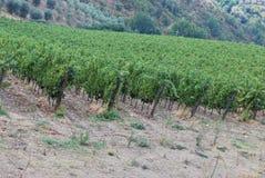 Chianti vineyards. Gaiole in Chianti, Siena, Tuscany, Italy royalty free stock photo