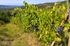 Chianti Vineyards, Italy Royalty Free Stock Photo