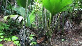 Chiara corrente in Vallee de Mai Nature Reserve video d archivio