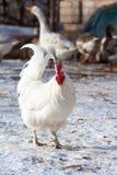 Chiara dell'uovo del pollo Fotografia Stock Libera da Diritti