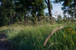 Chiara luce solare luminosa delle spighette di mattina sui precedenti di un campo di estate delle erbe selvagge Fuoco molle fotografia stock libera da diritti