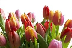 Chiari tulipani di colore Immagine Stock