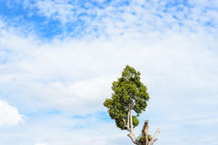 Chiaro cielo blu dell'albero Fotografia Stock