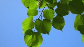 Chiaro fondo del cielo blu della natura con il primo fogliame fresco della molla degli alberi come struttura naturale Videoripres archivi video