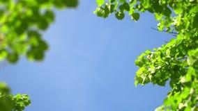 Chiaro fondo del cielo blu della natura con il primo fogliame fresco della molla degli alberi come struttura naturale Videoripres stock footage