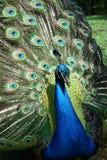 Chiarore del pavone fuori immagini stock