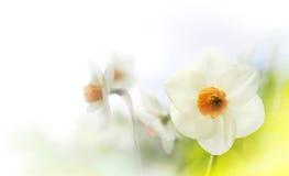 Chiave dei narcisi della primavera alta Fotografie Stock Libere da Diritti