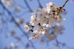 cherry trees spring 2019 stock photo