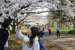 cherry trees spring 2019 royalty free stock photos