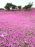 Pink flower field at Mother Farm. Chiba, Tokyo, Japan - May 23rd, 2017: Pink flower field at Mother Farm Stock Photography