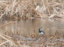 Chibis na rzece Fotografia Royalty Free