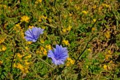 A chicória azul floresce em um campo, foco seletivo - intybus do Cichorium Imagem de Stock Royalty Free