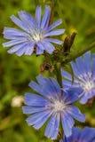 Chicória da flor Foto de Stock Royalty Free